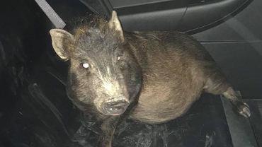 0 5.30 zadzwonił mężczyzna i powiedział, że śledzi go świnia. Myśleli, że jest pijany - nie był
