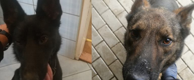 """Śledztwo prokuratury ws. awarii, w której zginęło sześć policyjnych psów. """"Trzeba lat, by je zastąpić"""""""