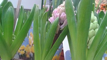 <b>Hiacynt</b><br>-Warto wpuścić nieco wiosny do naszych mieszkań za sprawą roślin cebulowych - radzi pani Ewelina z centrum ogrodniczego Flora Point-Świat Roślin. W tym może pomóc nam na przykład hiacynt. Ceny już od kilku złotych. Hiacynty lubią lekka wilgotną ziemię i niezbyt silne nasłonecznienie. Temperatura maksymalna 20 stopni. Świetnie prezentują się na balkonie. Po przekwitnięciu należy podlewać roślinę aż do całkowitego zaschnięcia liści. Potem cebulkę można, a raczej trzeba wyjąć, oczyścić i przechować w suchym miejscu do kolejnego sezonu.