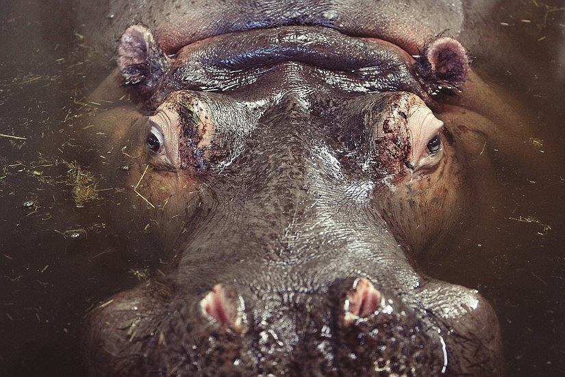 hipopotam / fot. pexels.com