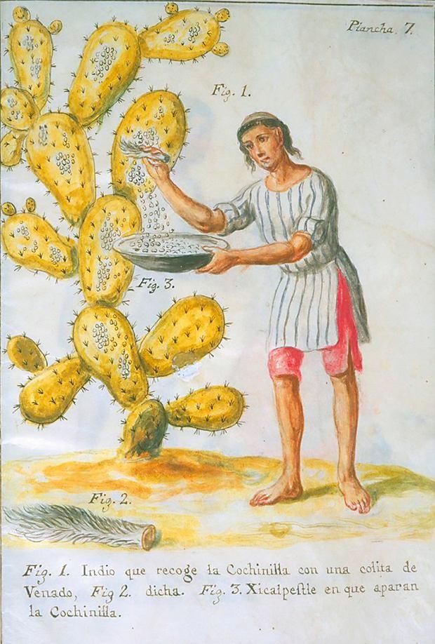 Indianin zbierający z opuncji czerwce kaktusowe (Dactylopius coccus)