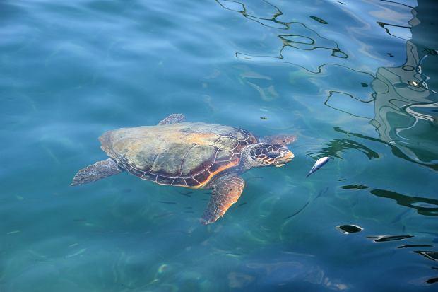 Żółwie Caretta Caretta