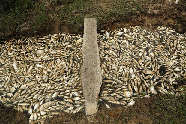 Rzeka Confuso pokryta rybimi zwołkami