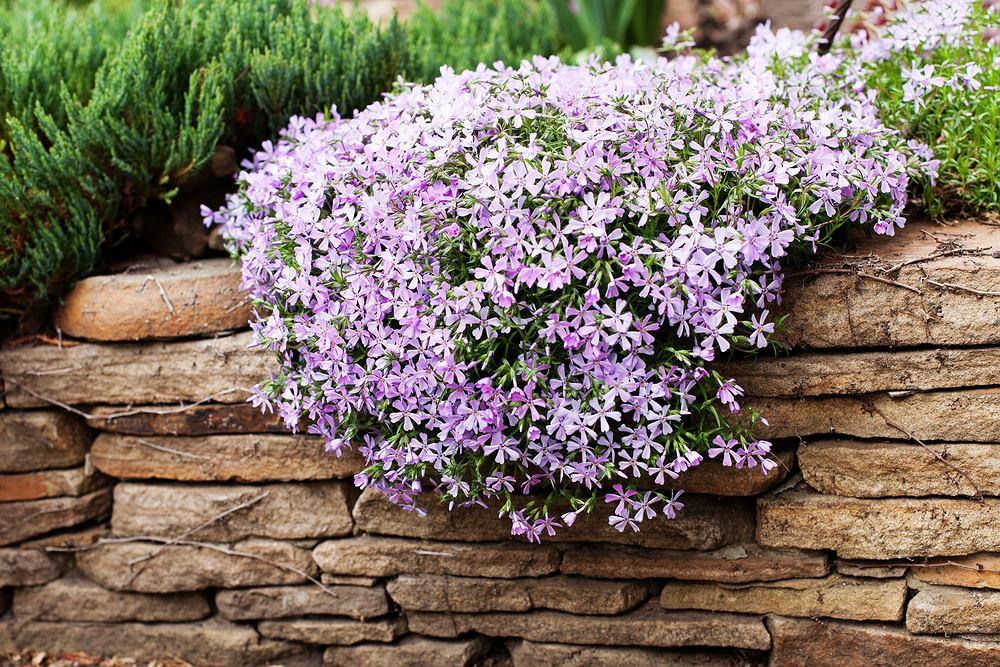 Floksy to bardzo popularne kwiaty. Zdjęcie ilustracyjne