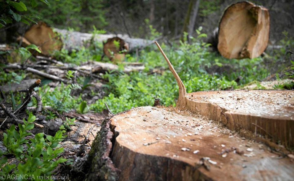 Wycinka drzew w Puszczy Białowieskiej i otaczających ją lasach trwa - mimo protestów