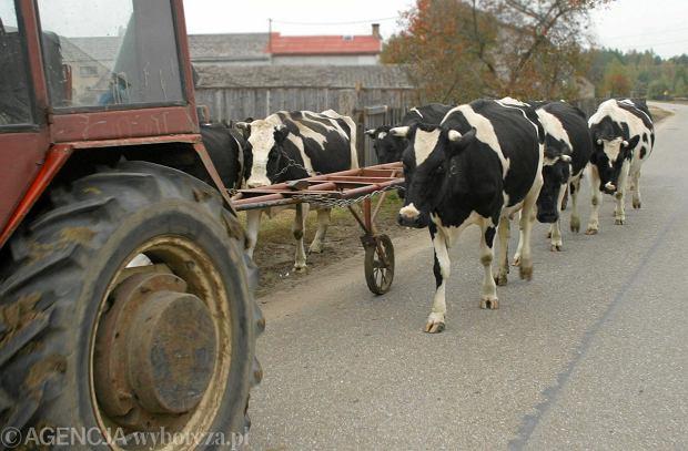 Afera z wołowiną to nie jest jednostkowy przypadek. System kontroli weterynaryjnej w Polsce jedzie na oparach