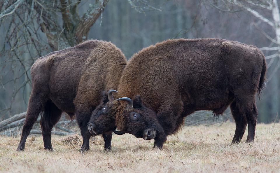 Zdjęcie numer 2 w galerii - Żubry na celowniku. Za strzał i trofeum dorodnego byka Lasy Państwowe biorą ponad 50 tys. zł