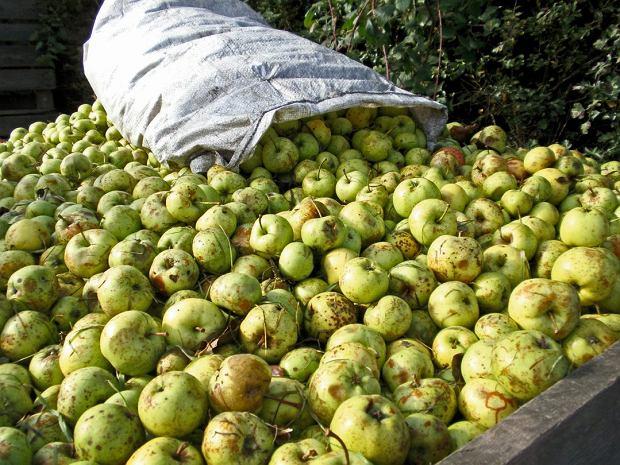 Cydr powstaje z jabłek