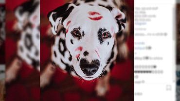 Dalmatyńczyk z plamką w kształcie serca na nosie.
