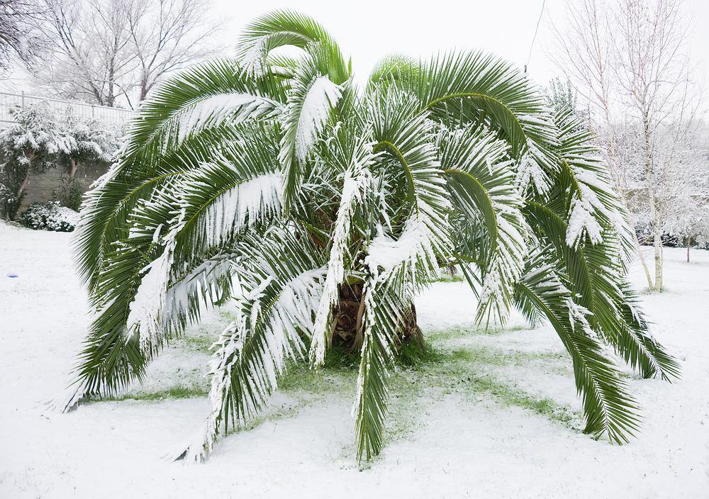 Palma do ogrodu. Zdjęcie ilustracyjne