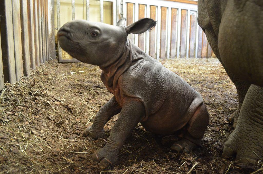 Narodziny nosorożca
