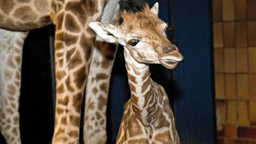 Młoda żyrafa z ogrodu zoologicznego Jyllands Park