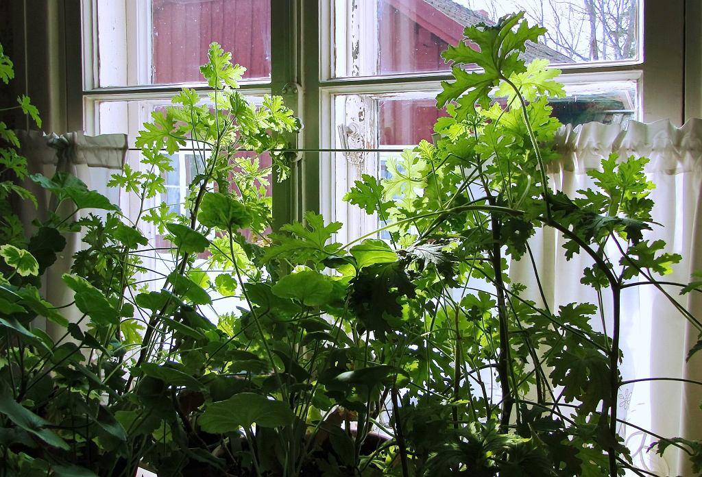 Anginka była bardzo popularną i chętnie uprawianą w domach rośliną. Zdjęcie ilustracyjne