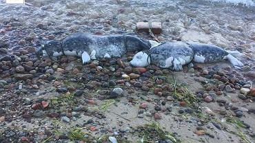 Dwie martwe foki znalezione w Oksywiu