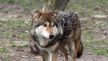 Wilk. Co zrobić przy spotkaniu z wilkiem?