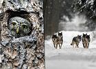 Dlaczego należy chronić Puszczę Białowieską? Przede wszystkim dla tych zwierząt