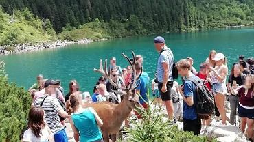Turyści karmią jelenia w Tatrach i robią mu zdjęcia.