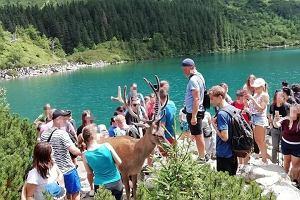 Władze TPN apelują, by nie dokarmiać jelenia. Przyrodnicy muszą odganiać zwierzę gumowymi kulami