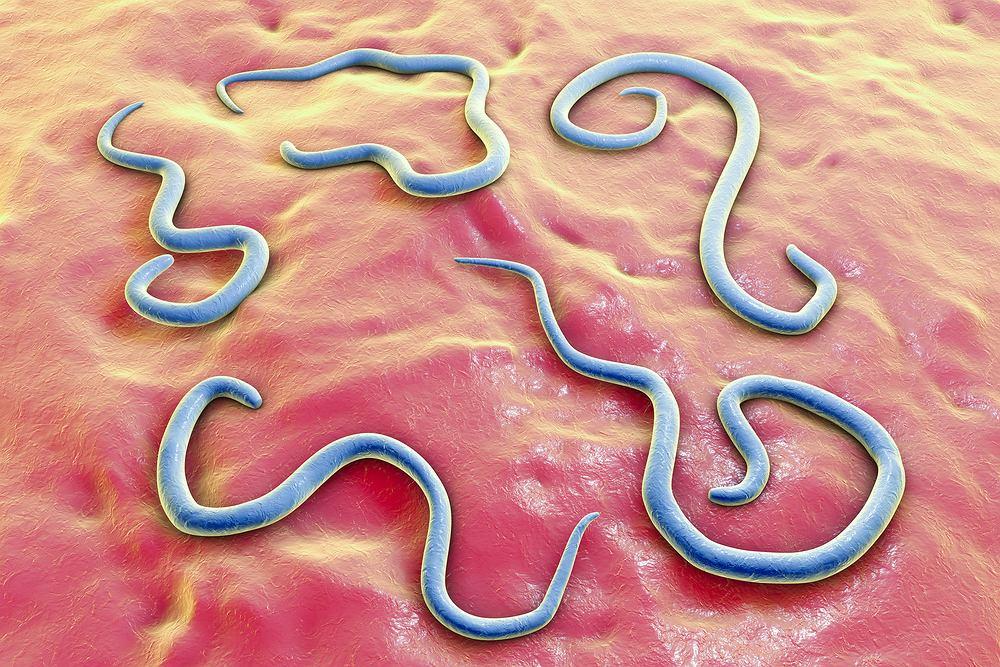 Toksokaroza to groźna odzwierzęca choroba pasożytnicza wywoływana przez inwazję larw glist psich lub glist kocich (toksokar).
