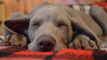 O czym mają sny psy? [Zdjęcie ilustracyjne]
