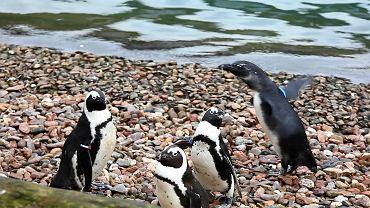 Pięć pingwinów zostało zagryzionych przez jenota we wrocławskim zoo