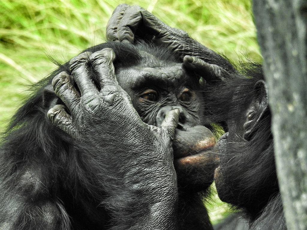 Relacje jednopłciowe często zdarzają wśród bonobo