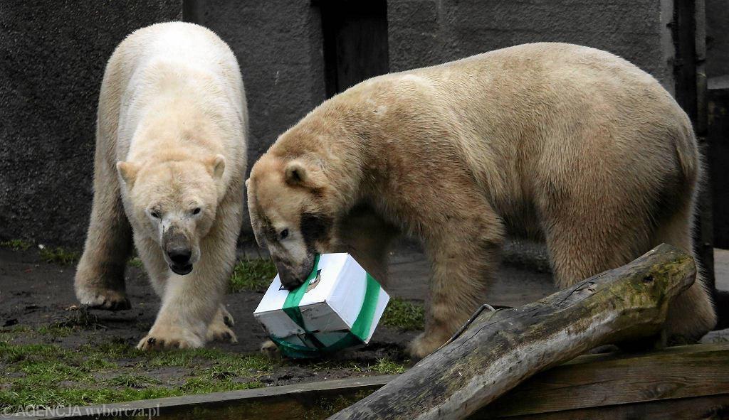 Niedźwiedzie polarne obchodzą urodziny w warszawskim zoo