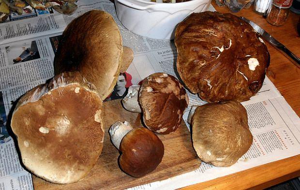 Chyba nikt tak chętnie jak Polacy nie zbiera grzybów. Często kończy się to dla nas fatalnie...
