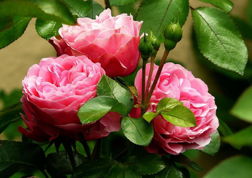 Róże potrafią odmienić wygląda naszego ogrodu. Wystarczy tylko odpowiednio o nie zadbać
