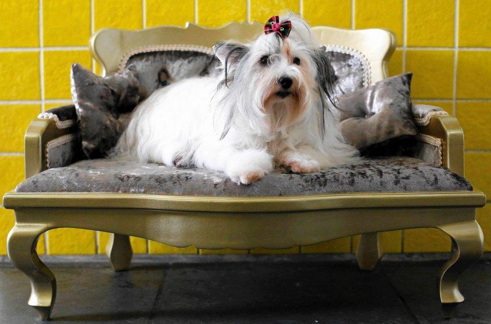 W 2013 r. brazylijski przemysł produktów dla zwierząt wzrósł o 7,3 procent w porównaniu z 2012 r. Rozwijał się znacznie szybciej niż inne sektory gospodarki, takie jak m.in. produkcja urządzeń gospodarstwa domowego, elementów elektroniki czy pielęgnacji urody. Na zdjęciu półtoraroczny grzywacz chiński odpoczywa na sofie po wizycie w salonie dla psów w Sao Paulo
