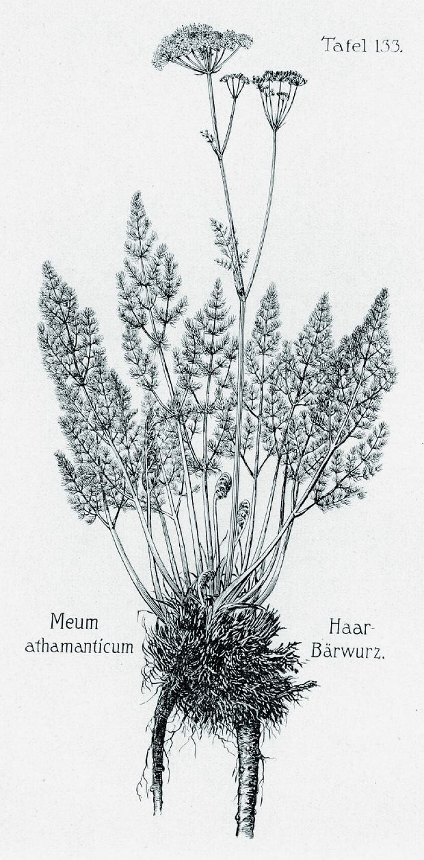 Wszewłoga górska (Meum athamanticum)