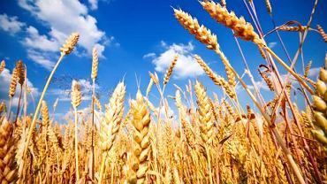 Pszenicy oraz większości produktów zbożowych nie powinno być w diecie chorego na celiakię