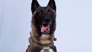 Pies, który uczestniczył w pościgu za Bagdadim