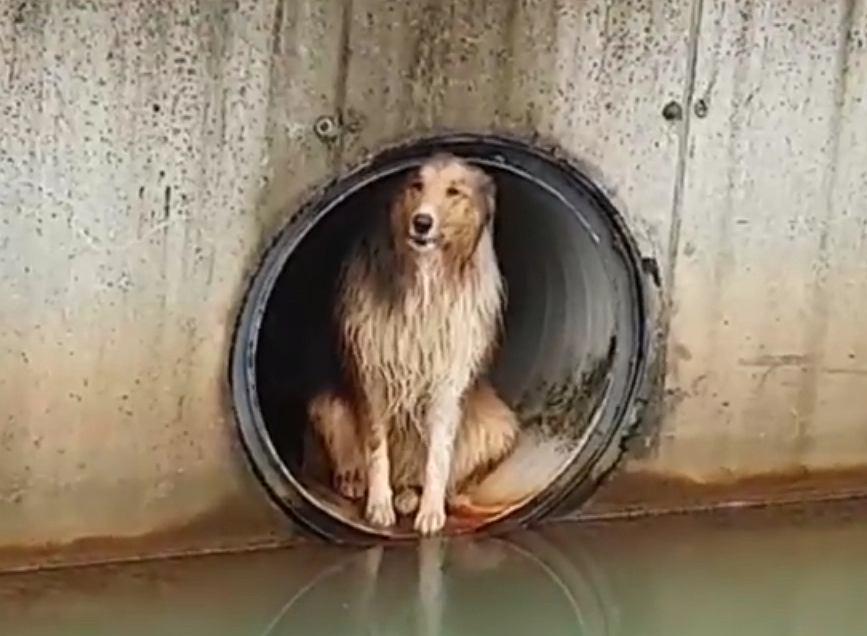 Jaworzno. Pies Dżeki uciekł przez huk fajerwerków. Znaleziono go w rurze kanalizacyjnej