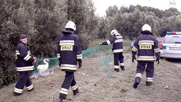 Policjanci i strażacy na ratunek rodzinie łabędzi