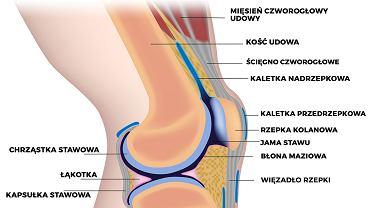 Budowa kolana ludzkiego jest dość skomplikowana, dlatego, że spada na nie duża odpowiedzialność za utrzymanie ciężaru całego ciała.