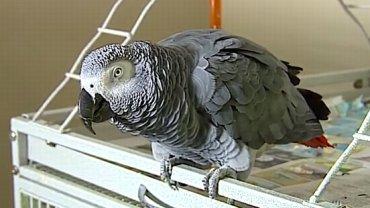 Papuga wskazała sprawcę zabójstwa?