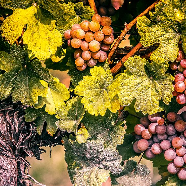 Winnice Alzacji