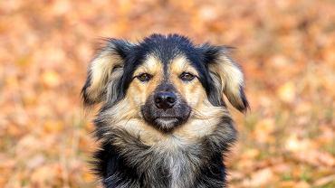 Jak widzi pies? Pies widzi jedynie kolor żółty i zielony. Zdjęcie ilustracyjne