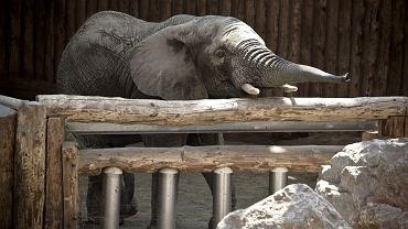 Słonń Ninio z zoo w Poznaniu