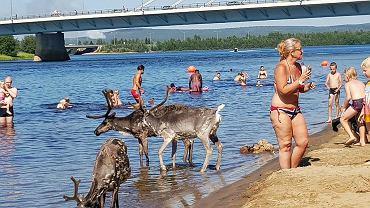 Renifery na miejskiej plaży w Rovaniemi