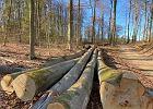 Mimo epidemii i suszy leśnicy nie próżnują. Tną drzewa w Trójmiejskim Parku Krajobrazowym