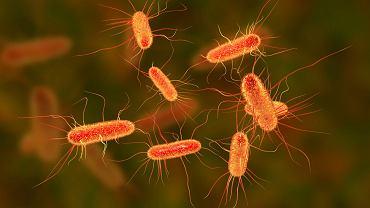 Bateria E.coli nazywana jest również pałeczką okrężnicy