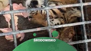 Włoscy aktywiści angażują się w sprawie tygrysów