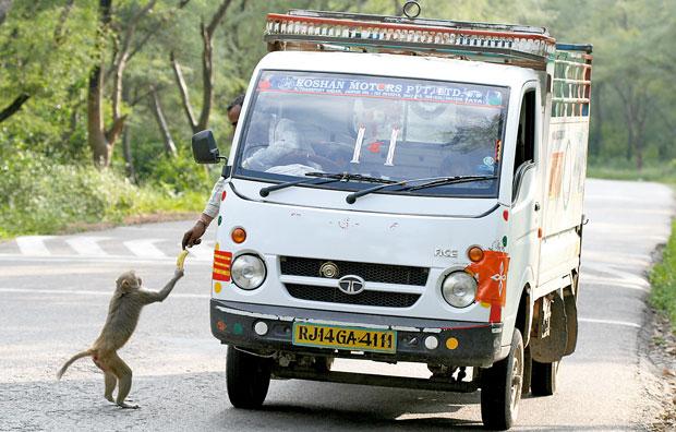 Indie - podróż po Radżasthanie, azja, podróże, Małpa na blokadzie w rezerwacie Sariska