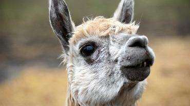 Lama (zdjęcie ilustracyjne)