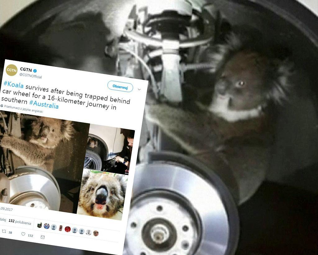 Koala za kołem samochodu