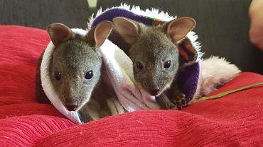 Jak pomóc zwierzętom w Australii?