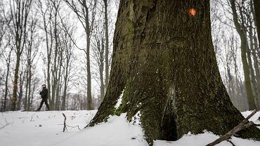 Leśnicy z Katowic oznaczyli już drzewa przeznaczone do wycinki w Lesie Murckowskim