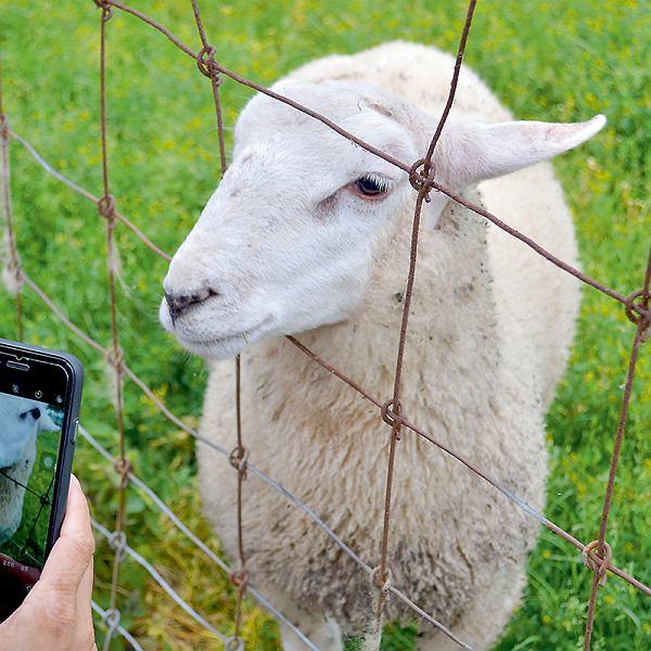 Trzynaście tysięcy owiecz ponad dwudziestoma tysiącami jagniąt wypełnia misję specjalną - skubią trawę i udeptują wały przeciwpowodziowe przy ujściu Wezery do Morza Północnego